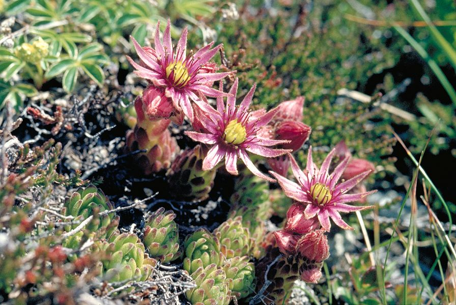 alpandino    alpine plants and water    water relations of